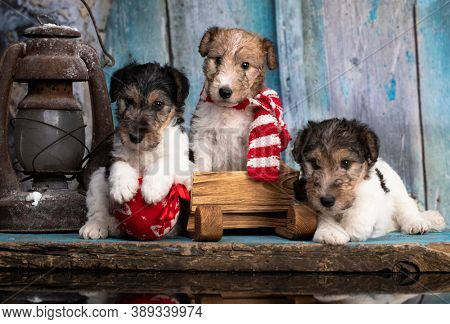 Fox Terrier puppy, fox terrier puppy and winter decorations, New Year's puppies