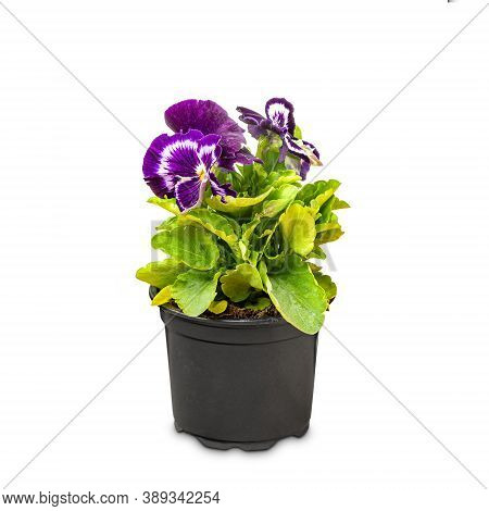 Viola Wittrockiana Flower Or Garden Pansy On White Background