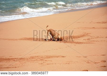Funny Ginger Dog On The Sandy Beach. A Street Dog Digs Crabs In The Sand On The Ocean Shore In Sri L