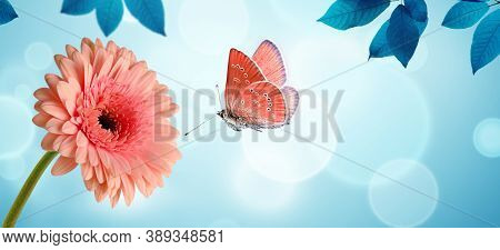 Pink Gerbera Daisy Flower And Flying Butterfly On Blue Background. Spring Morning Background, Banner
