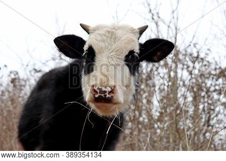 Young Bull Grazing On A Pasture In The Forest. Portrait Of White-black Goby Like A Panda, Looking To