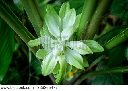 Curcuma And Flower The Name Comes From The Sanskrit Ku