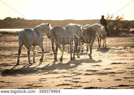 28 / 04/2019 : White Horses Are Walking In The Sand All Over The Landskape  Of Camargue, South Of Fr