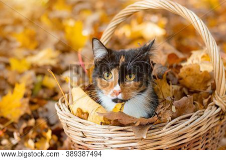 Cat In The Basket. Cat Sitting In A Basket And Autumn Leaves . A Young Colored Cat. Autumn Leave. Ca