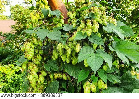 Humulus Lupulus. Ripened Hop Cones. Horizontal Photo