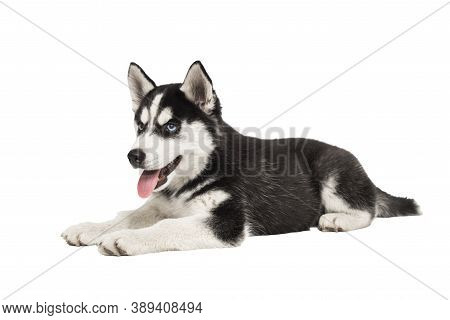 Siberian Husky Puppy, 3 Months Old, Lying In Front Of White Background. Siberian Husky Isolated On W