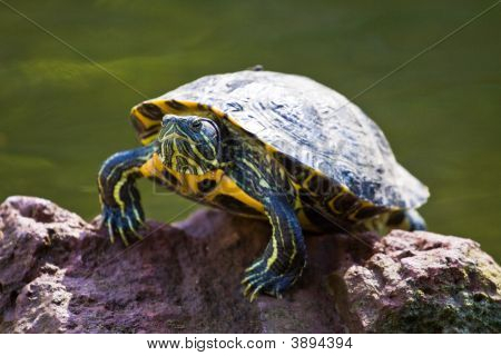 Green and Yellow Turtle sunning it's self on a rock with pond water visible in the background poster