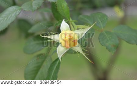Unopened Yellow Rose Flower Bud With Leaves.