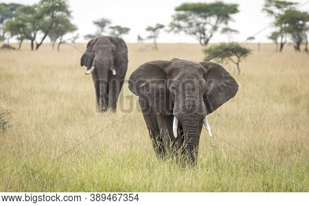 Two Elephants Walking In Tall Grass In The Plains Of Serengeti National Park In Tanzania