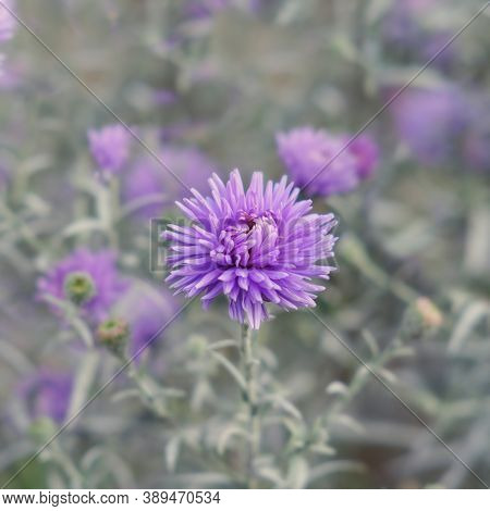 Selective Focus To Violet-lavender Aster Alpinus Or Blue Alpine Daisy On Blurred Garden Flower Bed B