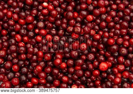 Horizontal Full Background Of Juicy Red Cranberries. Cranberry National Holiday And Thanksgiving Day