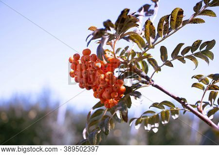 Rowan On A Tree Branch. A Bunch Of Ripe Red Rowan Berries On A Tree Branch.