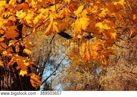 Autumn leaves background. Colorful orange autumn maple leaves. Autumn background with golden leaves, autumn leaves landscape. Maple autumn leaves in sunny autumn park