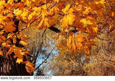 Autumn leaves background. Colorful orange autumn maple leaves. Autumn background with golden leaves, autumn leaves landscape. Maple autumn leaves in sunny autumn park
