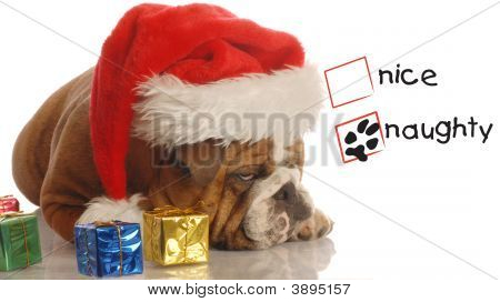 naughty english bulldog with christmas presents and scrooge expression poster