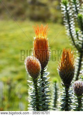 Chuquirahua (chuquiraga Jussieui) Flower Of Andes, Is A Native Species Of Colombia, Ecuador And Peru