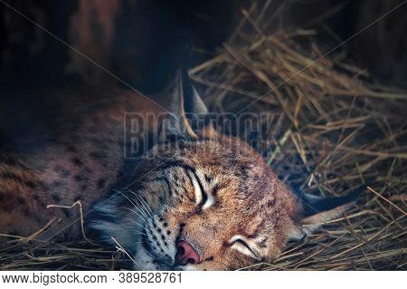 Close Up Eurasian Lynx Or Lynx Lynx Sleeps