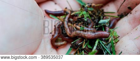 Earth Worms Known As Red Wigglers In A Mans Hand. These Worms Ar