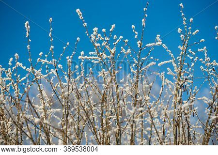 Close Up Of Frozen Branches With Hoarfrost Against Blue Sky In The Good Winter Weather.
