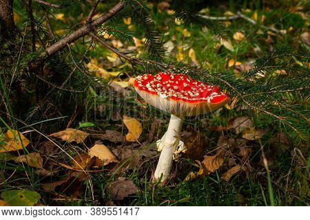Autumn, Time For Mushrooms Like This Fly Agaric With Its Red Hood And White Dots And The Beautiful O