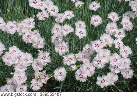 Many Light Pink Flowers Of Dianthus Deltoides In May
