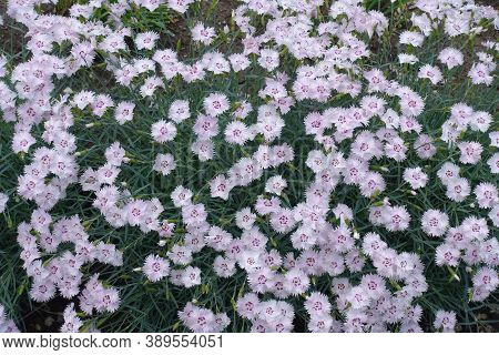 Multitude Of Light Pink Flowers Of Dianthus Deltoides In May