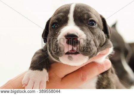 Staffordshire Terrier One-month Puppy Dog Head. Young Puppy Dog Lying On Hand. Puppy Dog Looking At