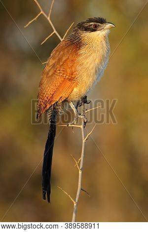 A burchells coucal (Centropus burchellii) perched on a branch, Kruger National Park, South Africa