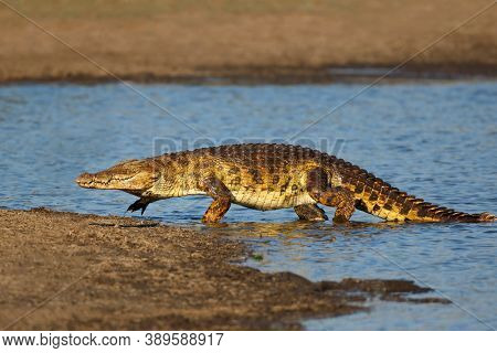 A large Nile crocodile (Crocodylus niloticus) emerging from the water, Kruger National Park, South Africa