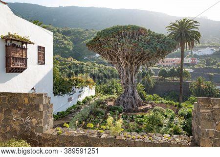 Tenerife, Spain - March 11, 2015. El Drago, Or Drago Milenario, An Ancient Dragon Tree And Popular T