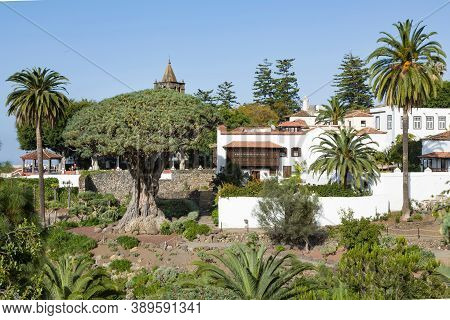 Tenerife, Spain - March 11, 2015. Millennial Dragon Tree Park, El Drago, Or Drago Milenario, Tenerif
