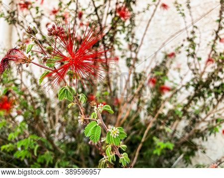 Close Up Shot Of A Bright Red Albizia Julibrissin Silk Flower Also Known As Mimosa Flower. Mimosa Tr