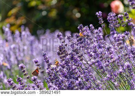 Background Of Lavender Flowers In Sunlight. Lavender Bushes In Soft Focus. Full Flower Purple Frame.