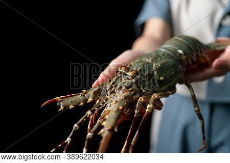 Fresh Raw Lobster In The Woman Hands. Spiny Lobster.