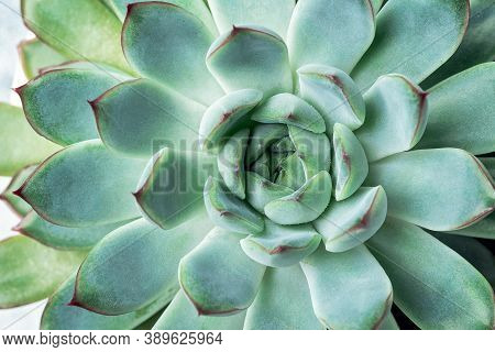Natural Background. Close-up Of Echeveria Succulent Plant With Blue-green Leaves. Top View - Image