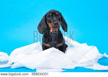 Naughty Dachshund Puppy Stole And Tore Toilet Paper, Got Tangled, Looks Guilty At The Owner. Hyperac