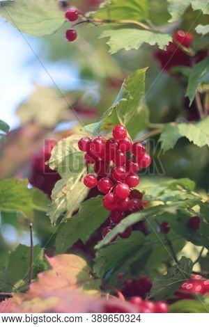 Viburnum berries in autumn. Red ash berries in the cold. Clusters of  Viburnum in the wind in forest. The hawthorn bushes in the sun. Snow-covered healthy and vitamine berries