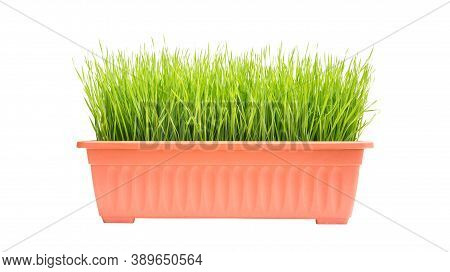 Wheatgrass Plant In A Pot On A White Background.