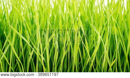 Close Up Of Wheatgrass Plant For A Background.