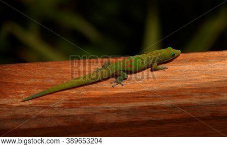 A Green Madagascar Taggecko Lizard On A Palm Tree