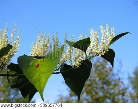 A Dioecious Perennial Herb Reynoutria Japonica Blooms In Autumn On A Bush