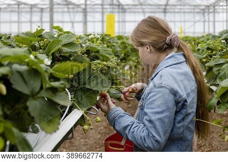 Young Blonde Girl Picking Strawberries With Scissors At A Strawberry Farm In A Greenhouse. The Girls