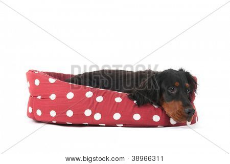Dog laying in red and white basket isolated over white background