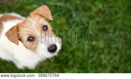 Pet Dog Walks On The Street. Black, Brown And White Dog. Puppy On A Walk. Dog In The Garden Or In Th