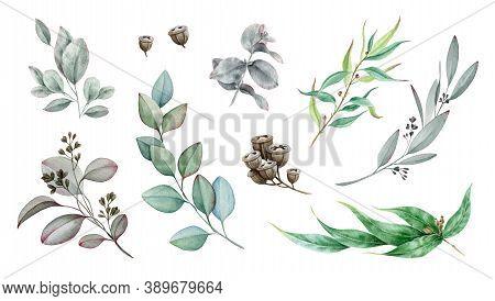 Eucalyptus Branch Watercolor Illustration Set. Natural Decorative Branch Single Element Collection.