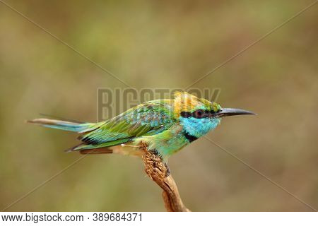 The Green Bee-eater (merops Orientalis) Sometimes Little Green Bee-eater Sitting On The Branch With