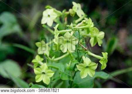 Many Delicate White Flowers Of Nicotiana Alata Plant, Commonly Known As Jasmine Tobacco, Sweet Tobac