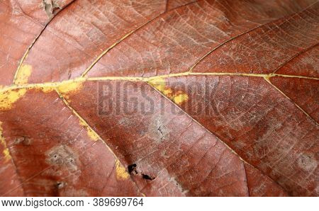 Dark Brown And Yellow Color Of Dry Leaf, Dry Leaf Of Teak Tree. Brown Color Of Dry Leaf, Dry Leaf Of