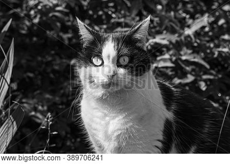 Beautiful Adult Young Black And White Cat With Big Eyes Sits On In A Yard In Summer. Black And White