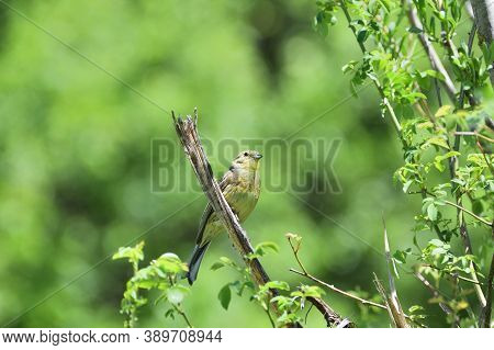 Portrait Of Yellowhammer Sitting On The Twig Tree Close Up